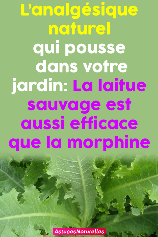 L'analgésique naturel qui pousse dans votre jardin: La laitue sauvage est aussi efficace que la morphine