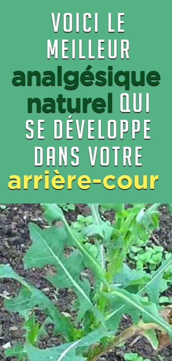Semblable à l'Opium : Voici le meilleur analgésique naturel qui se développe dans votre arrière-cour … à votre insu !!