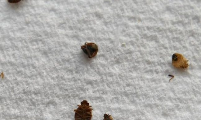 Il y a des insectes qui se cachent dans votre lit pour - Produit pour eliminer les punaises de lit ...