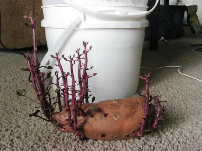 Comment faire pousser des patates environ kg de pommes de terre certaines trs grosses je les ai - Faire germer des pommes de terre ...
