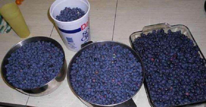Comment faire pousser de délicieux et beaux bleuets à la maison ? suivez ces consignes…