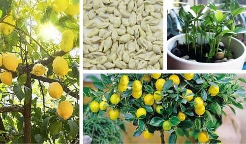 voici comment faire germer des graines de citron pour obtenir un arbre magnifique dans votre. Black Bedroom Furniture Sets. Home Design Ideas