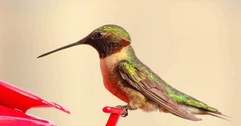 Vous êtes peut être en train de tuer l'espèce des colibris, voici comment les sauver !