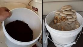 Comment faire pousser des champignons à la maison dans un seau !
