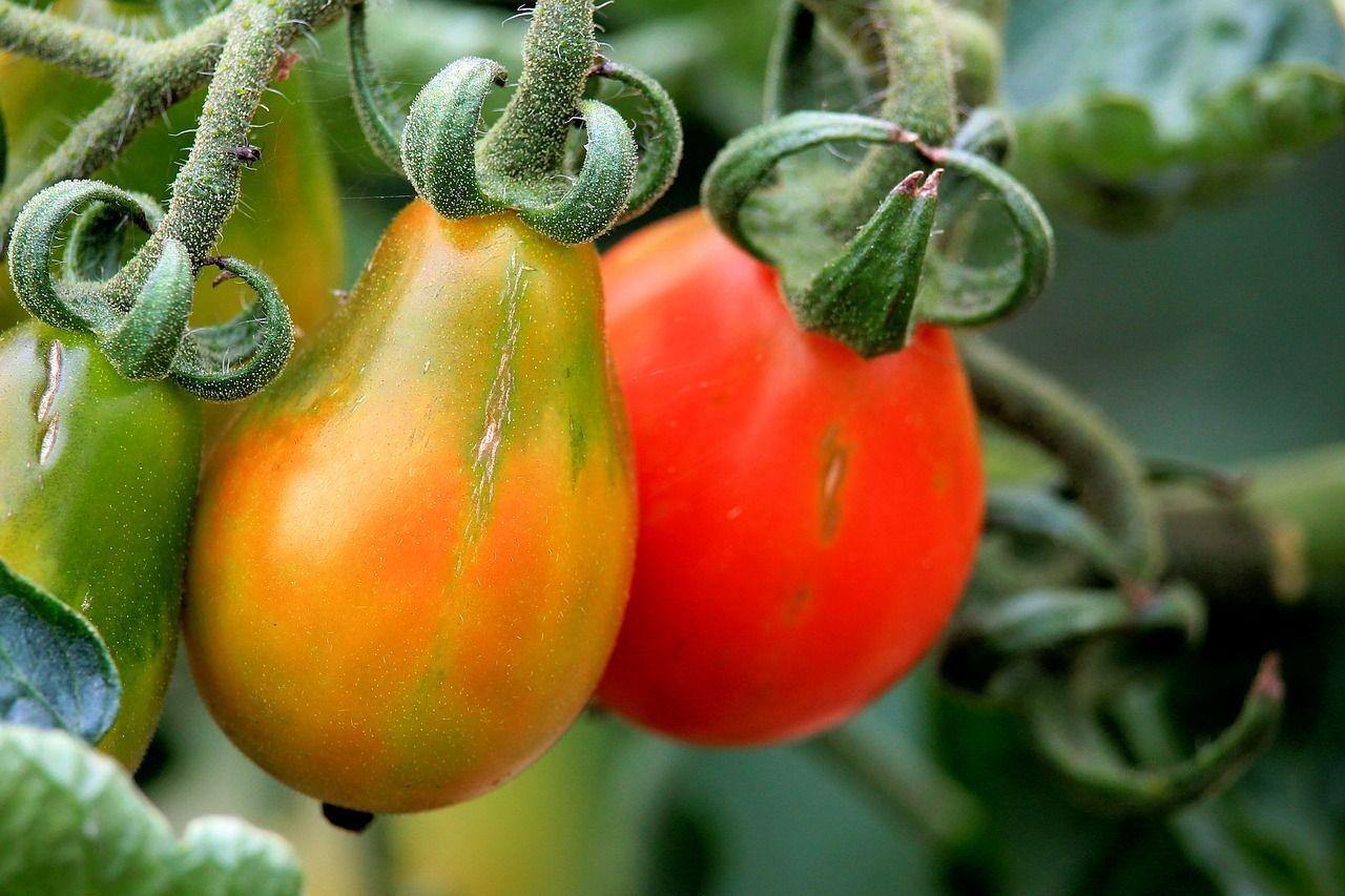 Comment planter correctement les tomates pour obtenir des ...