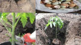 Comment planter correctement les tomates pour obtenir des plantes de 1 à 2 mètres ?