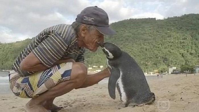 Un pingouin nage plus de 8000 km chaque année pour retrouver l'homme qui lui a sauvé la vie !