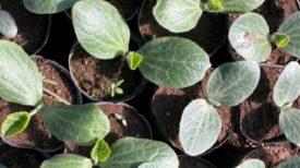 Comment semer et planter des courgettes dans votre jardin ? Retrouvez les explications dans cet article.