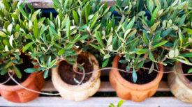 comment-planter-un-olivier