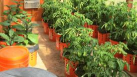 Comment faire pousser des poivrons et des tomates dans des conteneurs à arrosage autonome…