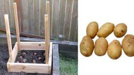 grow-potatoes