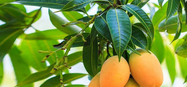amazing-benefits-and-uses-of-mango-leaves_1