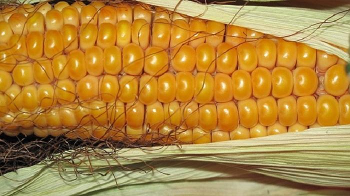 Manger régulièrement du maïs peut vous aider à prévenir l'obésité, les maladies cardiovasculaires et le cancer.
