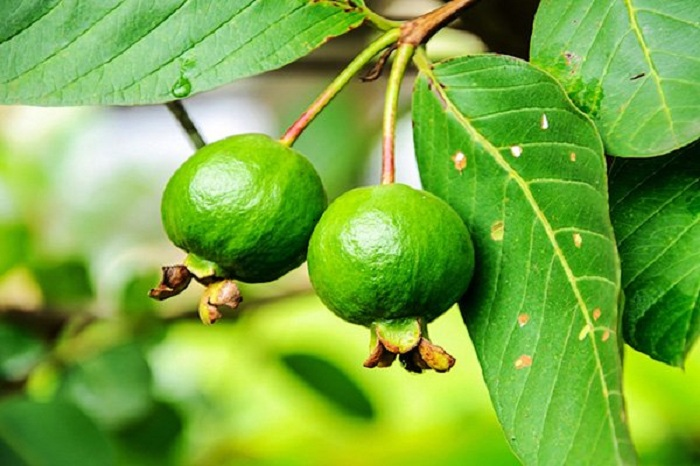 GUAVA LEAVES, an invaluable natural gift for preventing ...