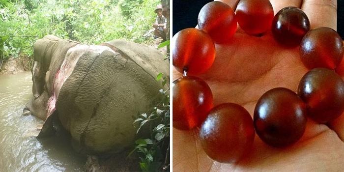 En chine, les éléphants sont dépecés pour confectionner des bracelets guérisseurs.