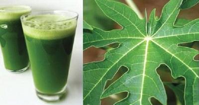 Les feuilles de papaye peuvent soigner la dengue ainsi que plusieurs autres maladies !