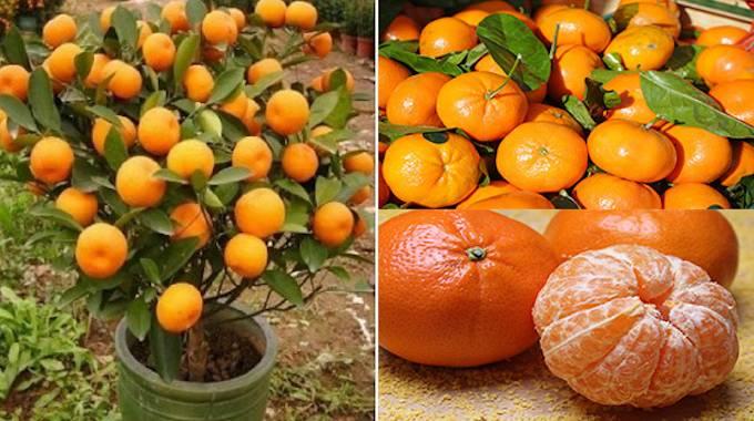 En suivant les instructions suivantes, vous n'aurez plus jamais à acheter de la mandarine !