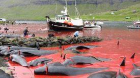 Des photos macabres montrent l'abattage en masse des baleines dans les Îles Féroé !