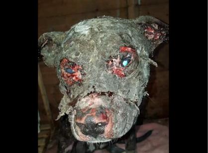 Choquant : un chien vivant retrouvé en état de décomposition après avoir été brûlé par ses propriétaires !
