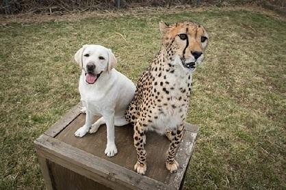 Des guépards si timides que le Zoo leurs attribue des chiens de soutien !