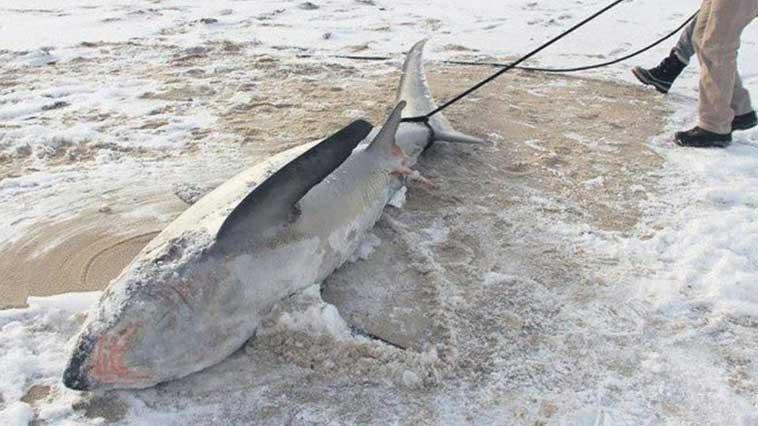 Il fait si froid aux Etats-Unis que les requins meurent congelés.