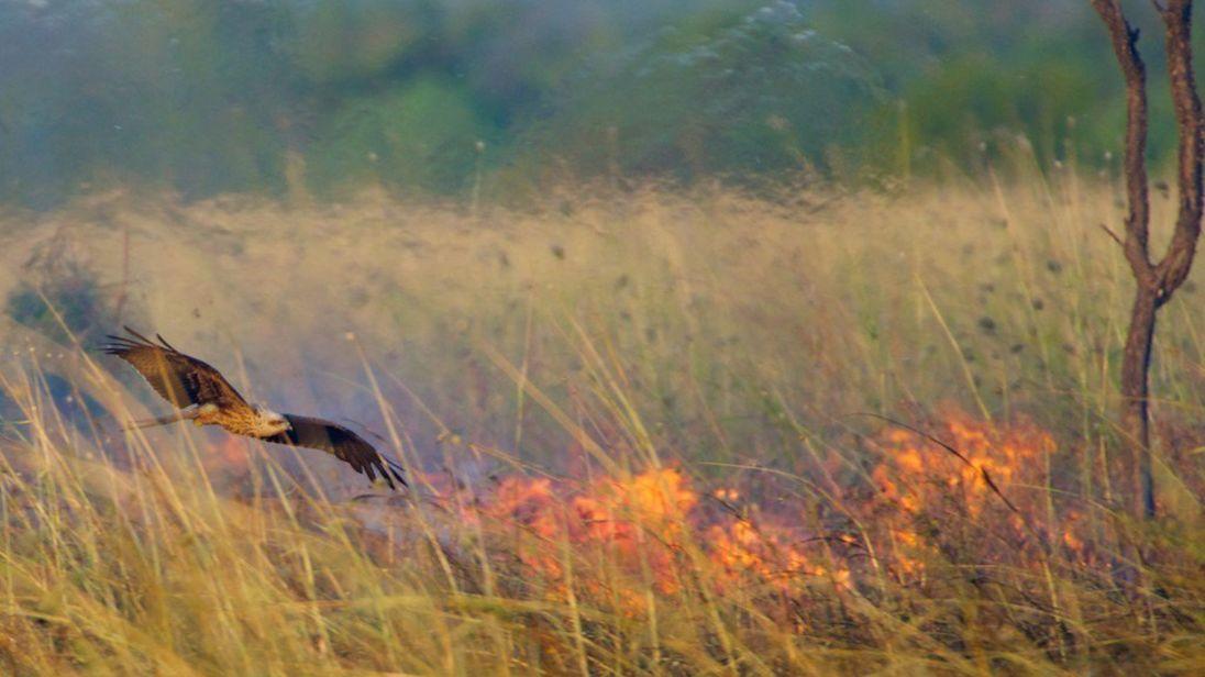 En Australie, des oiseaux pyromanes déclenchent volontairement des feux de brousse !