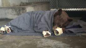 Des pansements innovants utilisés pour sauver les ours brûlés pendant l'incendie en Californie !