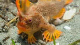 Une population de poissons rares, dotés de «mains» , a été découverte en Tasmanie !