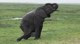 Vidéo : une éléphante donne naissance à son petit, on ne s'attendait pas une telle réaction de la part du reste du troupeau !