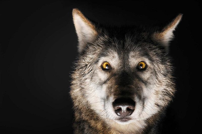 """Vous pensez savoir ce que signifie un """" Mâle-Alpha """"? Ces loups vont vous prouver que vous avez tort !"""