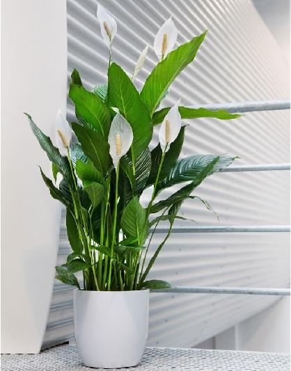 5 plantes dont la pr sence apporte de l 39 nergie positive et de la chance dans votre maison. Black Bedroom Furniture Sets. Home Design Ideas