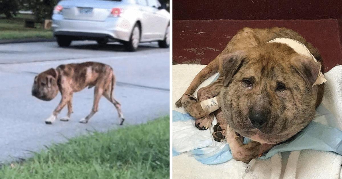 Un chien errant à la tête surdimensionnée a pu être sauvé d'une mort certaine