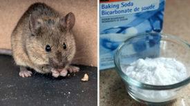 Découvrez ces astuces qui peuvent écarter les souris et les rats de chez vous