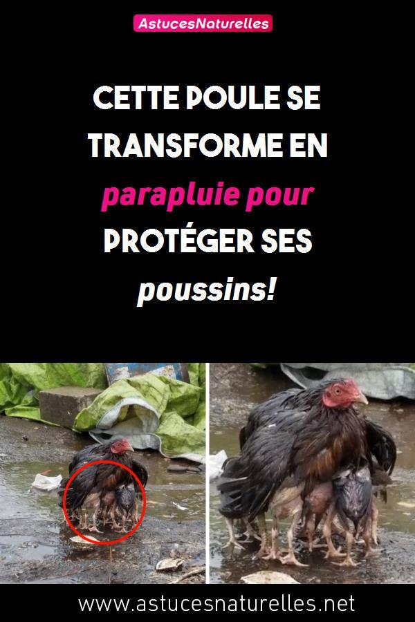 Cette poule se transforme en parapluie pour protéger ses poussins!
