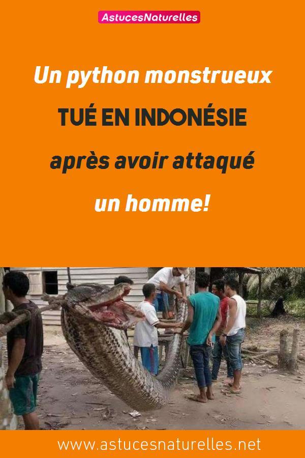 Un python monstrueux tué en Indonésie après avoir attaqué un homme!
