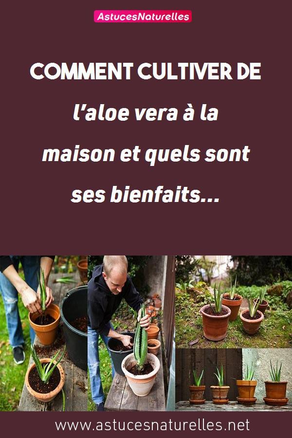 Comment cultiver de l'aloe vera à la maison et quels sont ses bienfaits…