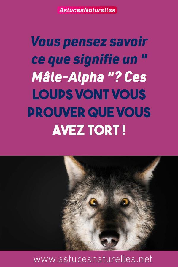 Vous pensez savoir ce que signifie un » Mâle-Alpha «? Ces loups vont vous prouver que vous avez tort !