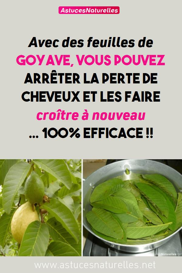 Avec des feuilles de goyave, vous pouvez arrêter la perte de cheveux et les faire croître à nouveau … 100% efficace !!