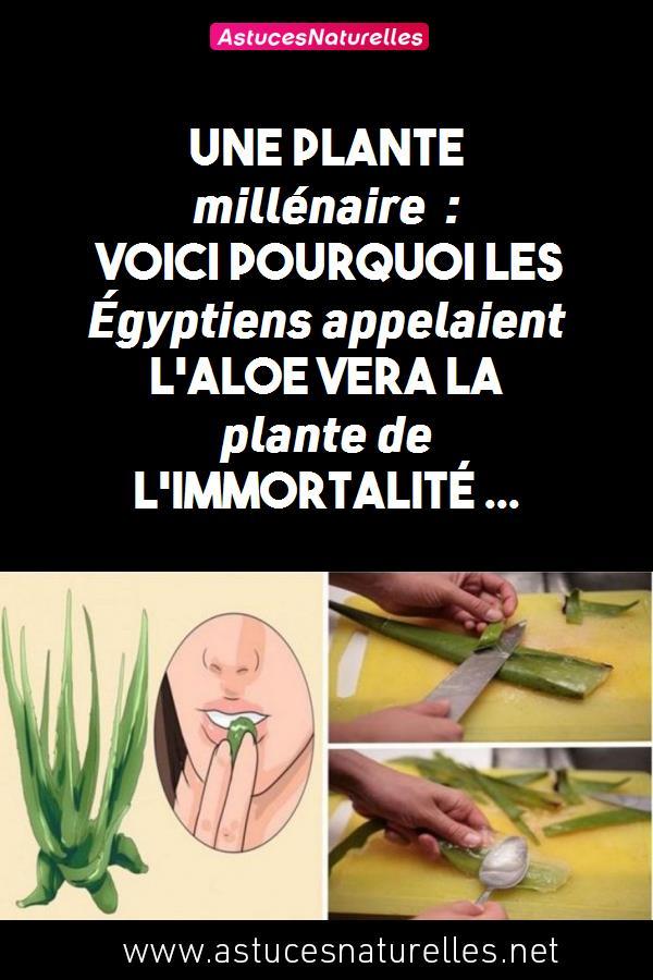 Une plante millénaire : Voici pourquoi les Égyptiens appelaient l'Aloe Vera la plante de l'immortalité …