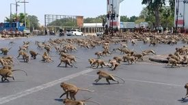 Coronavirus: Des centaines de singes à la recherche de nourriture. Il n'y a pas de touristes pour les nourrir