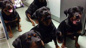 4 rottweilers sauvent la vie d'une mamie de 80 ans ! Mieux que des humains