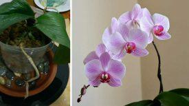 Orchidées mortes? Voici l'astuce secrète pour faire refleurir plante fatiguée