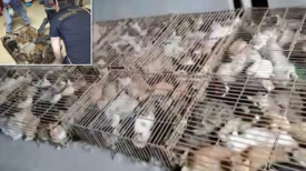 Des centaines de chats sont emprisonnés dans des cages pour être mangés