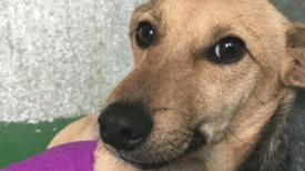 """Famille abandonne chienne """"dégoûtante"""" à cause de son apparence après avoir perdu jambe dans accident de voiture"""