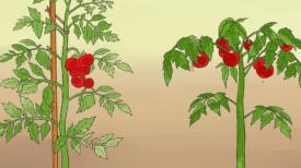 5 Astuces Pour Faire Pousser Plus de Tomates, Plus Grosses et Plus Savoureuses.