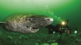 Des scientifiques découvrent un requin du Groenland âgé de 400 ans, probablement né vers 1620