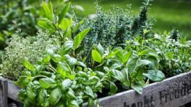 Apprenez à utiliser 5 plantes contre la toux, les infections pulmonaires et la bronchite