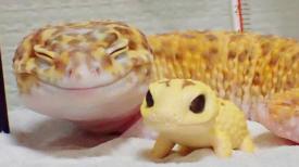 Un adorable gecko vient de recevoir son mini-moi et il ne peut pas s'empêcher de lui sourire