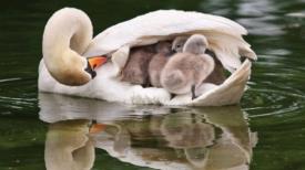 Une maman cygne porte adorablement ses 8 bébés sous son aile pendant qu'elle nage