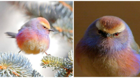 Découvrez la mésange de Sophie, l'oiseau aux belles couleurs de l'arc-en-ciel